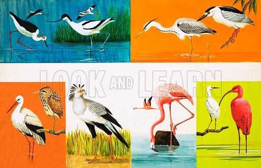 Birds with Long Legs. Top Row: Stilt, Avocet, Common Herron, Night Heron; Bottom Row: Stork, Bittern, Secretary Bird, Flamingo, Little Egret, Scarlet Ibis. Original artwork from Once Upon a Time 134 (4 September 1971).