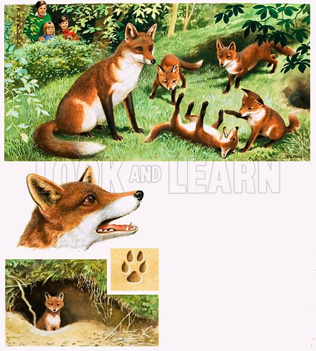 Fox and Cubs. Original artwork from Once Upon a Time 166 (15 April 1972).