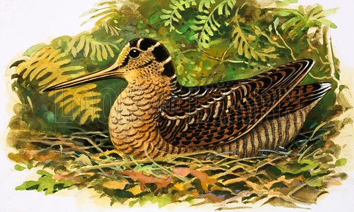 Looking at Nature: The Woodcock. From Once Upon a Time 164 (1 April 1972).