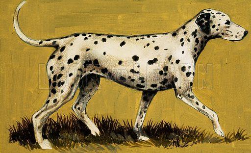 Dalmation dog.