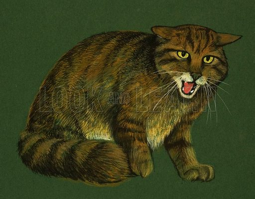 Wildcat. Once common wild cat from central and northern Europe. From Look and Learn no. 434 (9 May 1970).