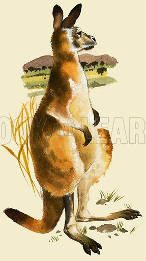Animal Tails. The Kangaroo. Feature from Jack and Jill Annual 1964.