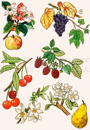 Unidentified montage of fruit and berries. Original artwork (labelled Baby's own Annual).