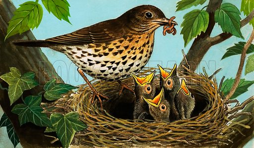 The Song Thrush. From Once Upon a Time 162 (18 March 1972).