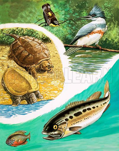 Great Rivers of the World: St Lawrence. Animals you might find in Canada include the Magnolia Warpbler, the Common Kingfisher, the Southern Soft-Shelled and Snapping Turtles, and the Largemouth Bass chasing a Pumpkinseed. From Once Upon a Time 118 (15 May 1971).