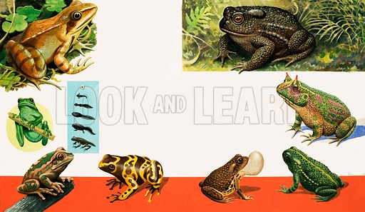 All sorts of Frogs and Toads. (Left Page top to bottom) Common Frog, Green Tree Frog, Australian Tree Frog, Arrow Poison Frog (Right page) Common Toad, Horned Toad, American Hop Toad and Natterjack Toad. From Once Upon a Time 142 (30 October 1971).