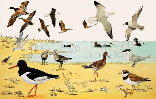 Unidentified seabirds montage. Original artwork (labelled WWA 1977).