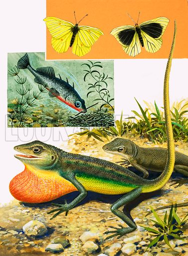 Cracking the Colour Code. The Brimstone Butterfly, Three-Spined Stickleback and the Anole. From Look and Learn no. 962 (16 August 1980).