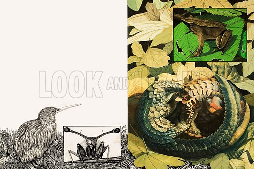Nature's Kingdom: Strange Survivors. The Kiwi, Stalk-eyed Fly, Darwin's Frog and Pangolin are amongst the world's oddest creatures. From Look and Learn no. 894 (10 March 1979). Original artwork loaned for scanning by the Illustration Art Gallery.