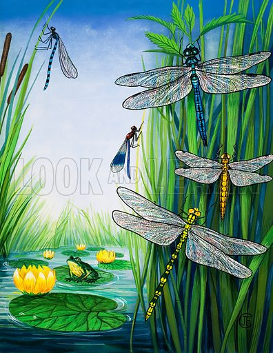 The Pond Patrol. Various types of dragonfly. From the Look and Learn Eighth Book of the Wonders of Nature (1974). Original artwork loaned for scanning by the Illustration Art Gallery.