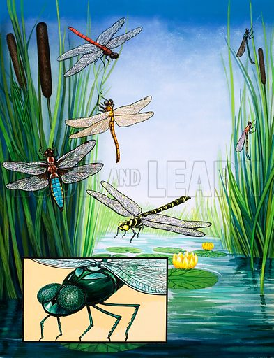The Pond Patrol. Various types of dragonfly. From the Look and Learn Eighth Book of the Wonders of Nature (1974).