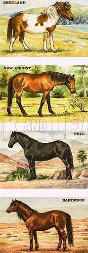 Wild ponies of Great Britian.