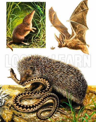 Nature's Kingdom: Under Cover of Dark. Common Shrew, Long-eared Bat, Hedgehog and adder, From Look and Learn no. 976 (22 November 1980). Original artwork loaned for scanning by the Illustration Art Gallery.