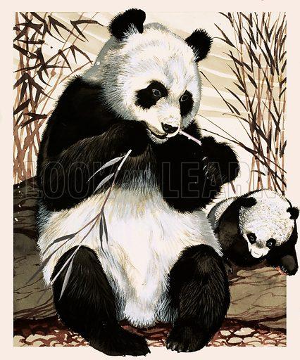 Panda and cub.