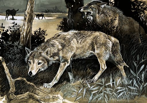 Wolves on the prowl. Original arwork loaned for scanning by the Illustration Art Gallery.