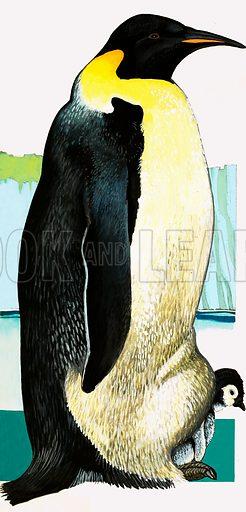 Penguins. King Penguin.