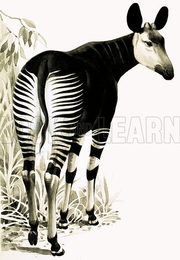 Okapi. Nocturnal African forest dweller. From Look and Learn Book of 1001 Questions 1983. Original artwork loaned for scanning by the Illustration Art Gallery.