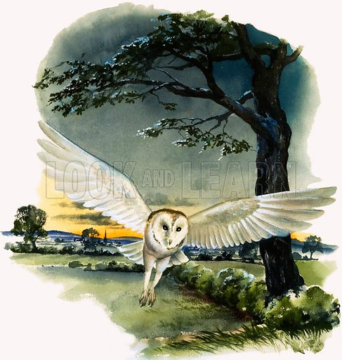 Peeps at Nature: Owls. Barn Owl in flight. From Treasure no. 4 (9 February 1963).