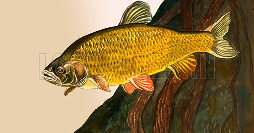 Unidentified fish. Original artwork.