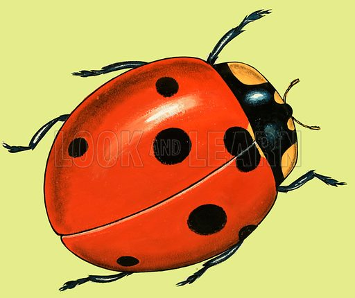 ladybird, picture, image, illustration