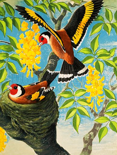 Goldfinch. From Teddy Bear (20 April 1968). Original artwork loaned for scanning by the Illustration Art Gallery.