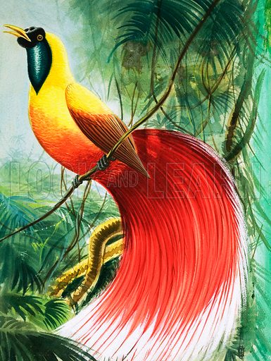 Red Bird of Paradise (illustration, picture, art, artwork)