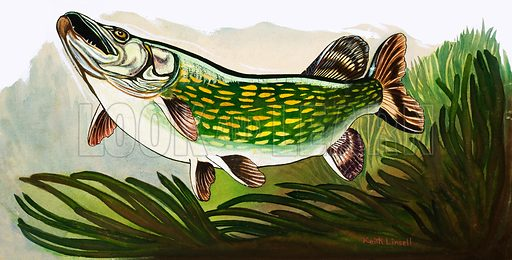 Let's Go Fish-Watching. The Pike. From Look and Learn no. 196 (16 October 1965). Original artwork loaned for scanning by the Illustration Art Gallery.