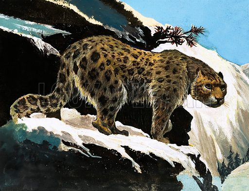Snow Leopard. From The Fifth Treasure Book of Animals (1970).