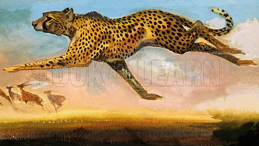 Cheetah. From The Fifth Treasure Book of Animals (1970). Original artwork loaned for scanning by the Illustration Art Gallery.
