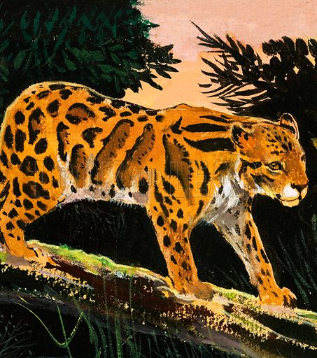 Clouded Leopard. From The Fifth Treasure Book of Animals (1970). Original artwork loaned for scanning by the Illustration Art Gallery.