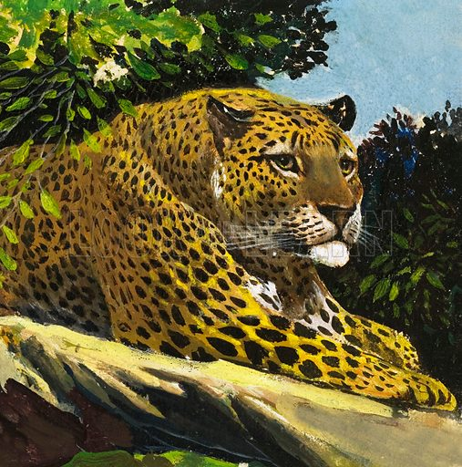 Leopard. From The Fifth Treasure Book of Animals (1970). Original artwork loaned for scanning by the Illustration Art Gallery.