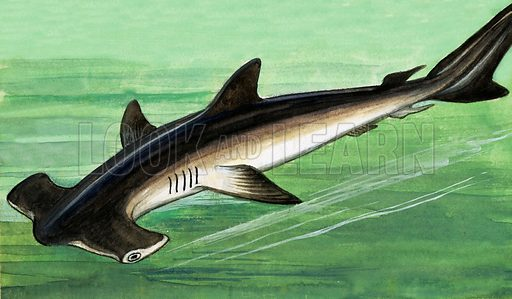 Hammerhead Shark. Original artwork from Once Upon a Time 70.