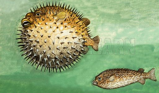 Porcupine Fish. Original artwork from Once Upon a Time 70.
