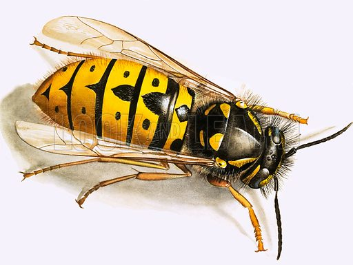 Wasp. From The 3rd Treasure Book of Animals.