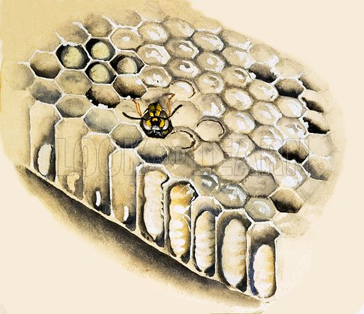 Wasp's nest. From the 3rd Treasure Book of Animals.