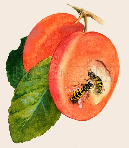 wasps, picture, image, illustration