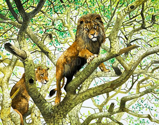 Lion and Lioness in Tree.