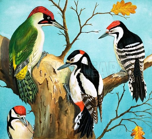 Pied Woodpecker (illustration, art, picture)