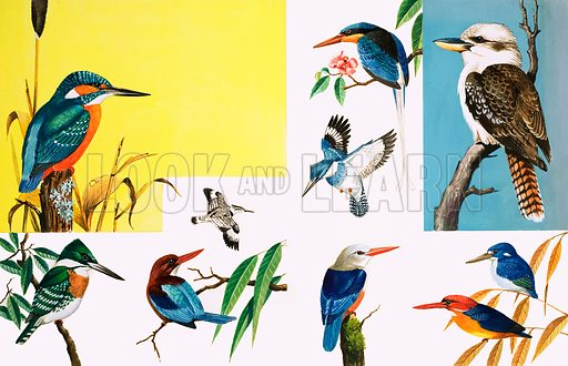 All sorts of Kingfishers. (Left page, top to bottom): Common Kingfisher, Pied Kingfisher, Green Kingfisher, White-breasted Kingfisher; (Right): White-tailed Kingfisher, Kookaburra (inset), Belted Kingfisher, Grey-head Kingfisher, Little Kingfisher, Dwarf Kingfisher. From Once Upon a Time no. 144 (13 November 1971). Original artwork loaned for scanning by the Illustration Art Gallery.