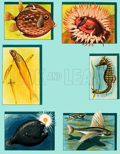 Oddities Under the Ocean. (Clockwise from top left) Trunkfish, Damselfish, Seahorse, Flying Fish, Deep-sea Angler, Chinese Fish. From The Look and Learn Ninth Book of the Wonders of Nature (1975).