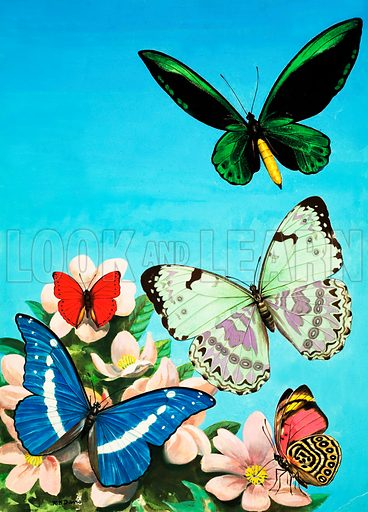 Butterflies montage. Original artwork loaned for scanning by the Illustration Art Gallery.