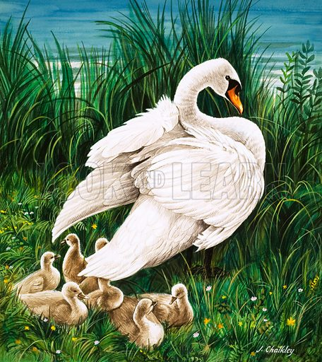 Swan, picture, image, illustration