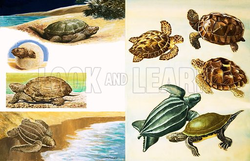 Turtles. From Once Upon a Time (date unknown).