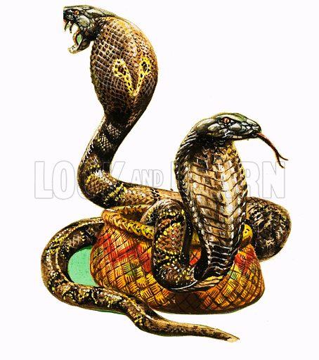 King Cobras. From Treasure no. 43.