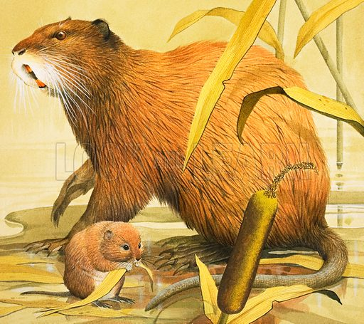 Beautiful Rodents. The Coypu and a water vole. From The Look and Learn Book of 1001 Questions and Answers. Original artwork loaned for scanning by the Illustration Art Gallery.