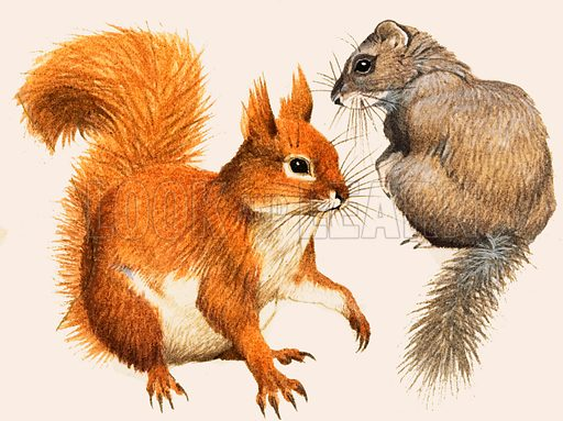 Beautiful Rodents. Red Squirrel and Dormouse. From The Look and Learn Book of 1001 Questions and Answers. Original artwork loaned for scanning by the Illustration Art Gallery.
