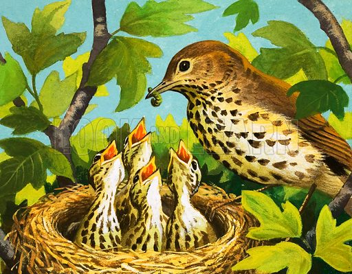 Thrush and chicks. Original artwork (dated 30 Aug).
