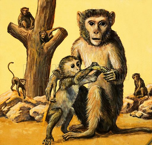 Peeps at Nature: Strange Monkeys. Rhesus Monkey. From Treasure no. 166. Original artwork loaned for scanning by the Illustration Art Gallery.