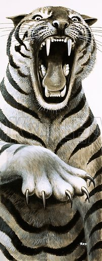 Tooth and Claw. Close up of a Tiger. From Look and Learn no. 529 (4 March 1972).
