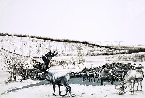Unidentified herd of reindeer. Original artwork (dated 4th March or possibly 12 April).